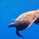 Giant Sea Turtles in Heavenly Gili – Lombok