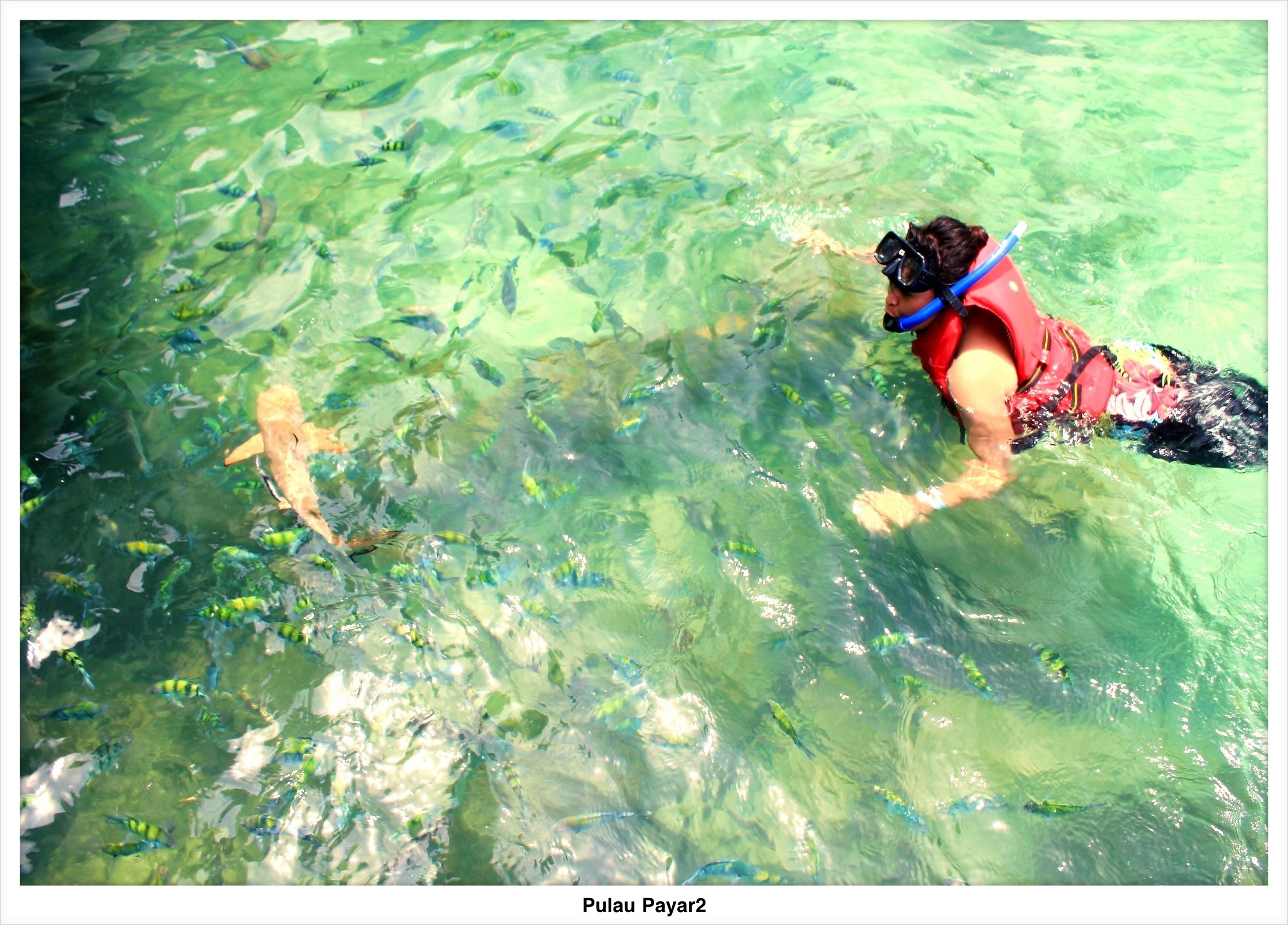 Payar Island I Snorkeled With Sharks Olive Latuputty Kaos Fish Ikan Hiu Shark Begitu Sampai Di Pantai Ratusan Kecil Warna Warni Sudah Menunggu Bibir Mereka Udah Biasa Dikasih Makan Sama Turis Jadi Nagih Semua